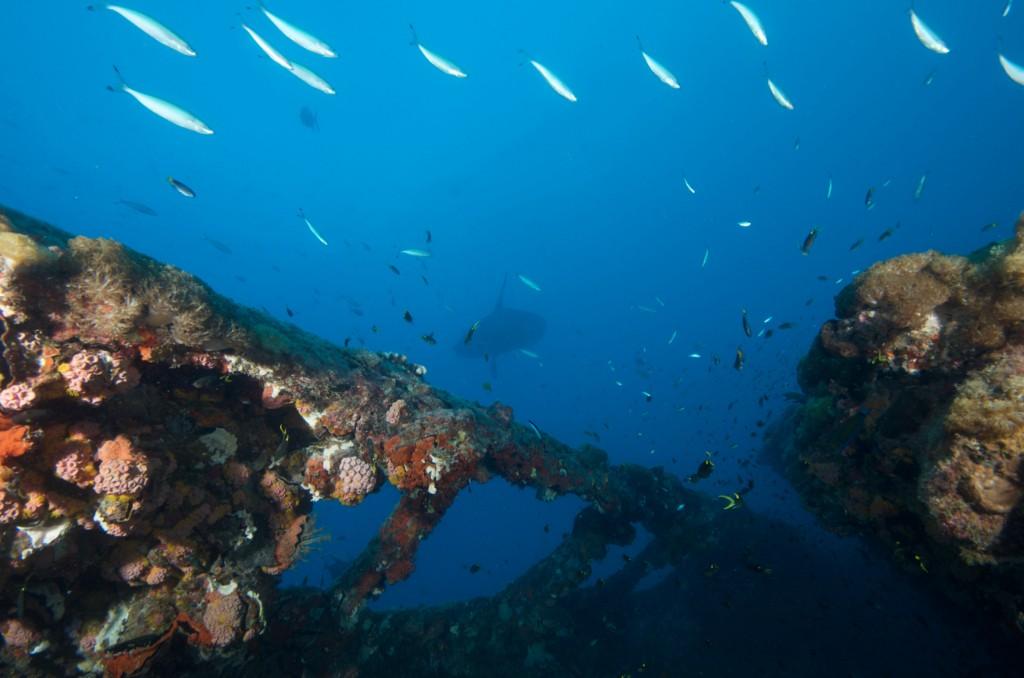 SS Yongala Wreck Townsville Magnetic Island SCUBA Dive Day Trip Stingray