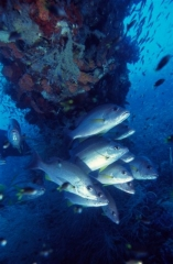 SS Yongala Wreck Townsville Magnetic Island SCUBA Dive Day Trip Fish Life