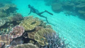 A Snorkeller swimming through coral on the Great Barrier Reef