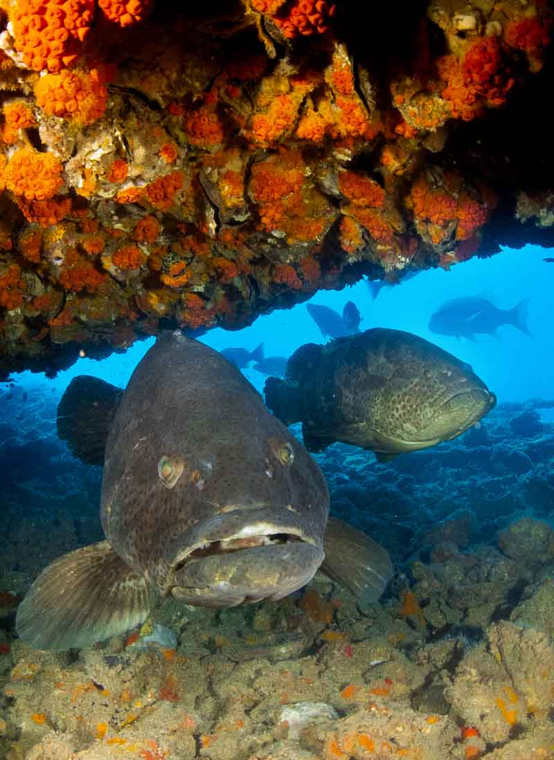 two queensland gropers taken underneath the wreck of the ss yongala