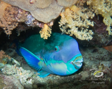 close-up shot of a bright blue parrotfish peeking out from underneath corals