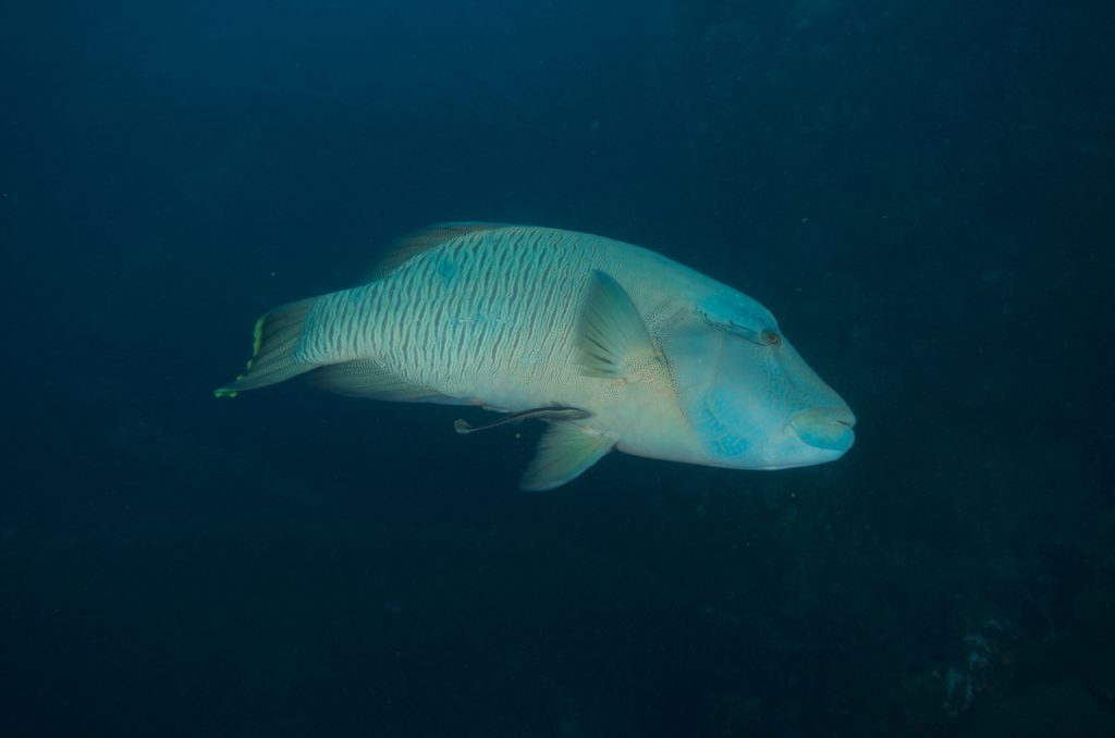 SS Yongala Wreck Townsville Magnetic Island SCUBA Dive Day Trip maori wrasse