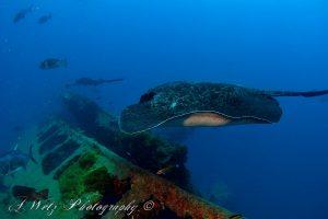 Bull ray at the Yongala shipwreck