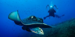 bull ray feeding on a fish with diver in the background taking a picture