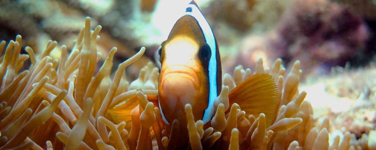 Clownfish Peeking From Anemone