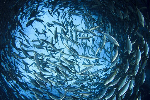 Shot of a school of tuna fish taken underwater looking up at the surface of the water