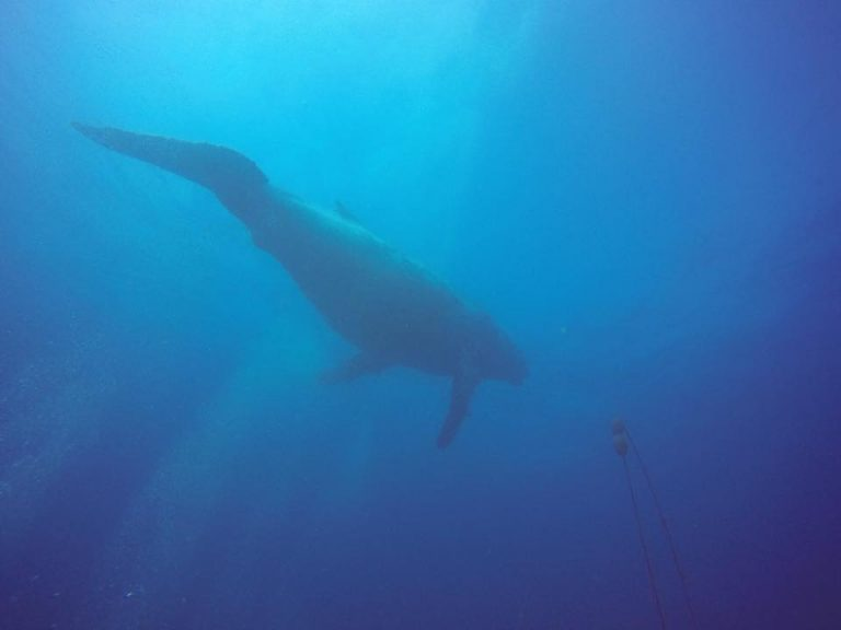 Whale at the Yongala wreck in Townsville North Queensland