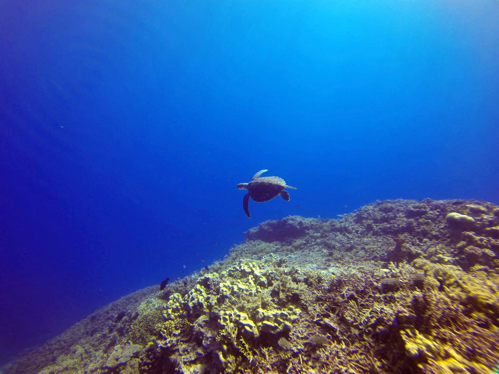 sea turtle swimming over the edge of a reef structure into the deep blue