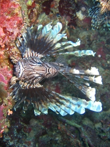 Top-down shot of a lionfish looking into the camera