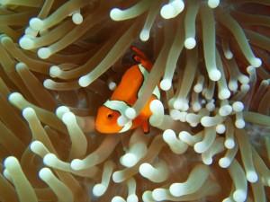 orange clownfish peeking out from anemone