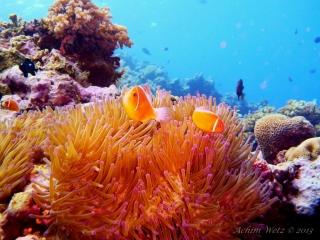 Great Barrier Reef Townsville Magnetic Island Lodestone Reef Snorkel Dive Day Snorkel Trip Clown Fish