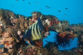 SS Yongala Wreck Townsville Magnetic Island SCUBA Dive Day Trip Angel Fish