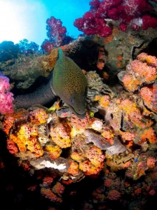 1.5m moral eel peeking out from corals on yongala wreck