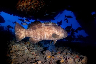 profile of a queensland groper taking under the rudder of the ss yongala wreck
