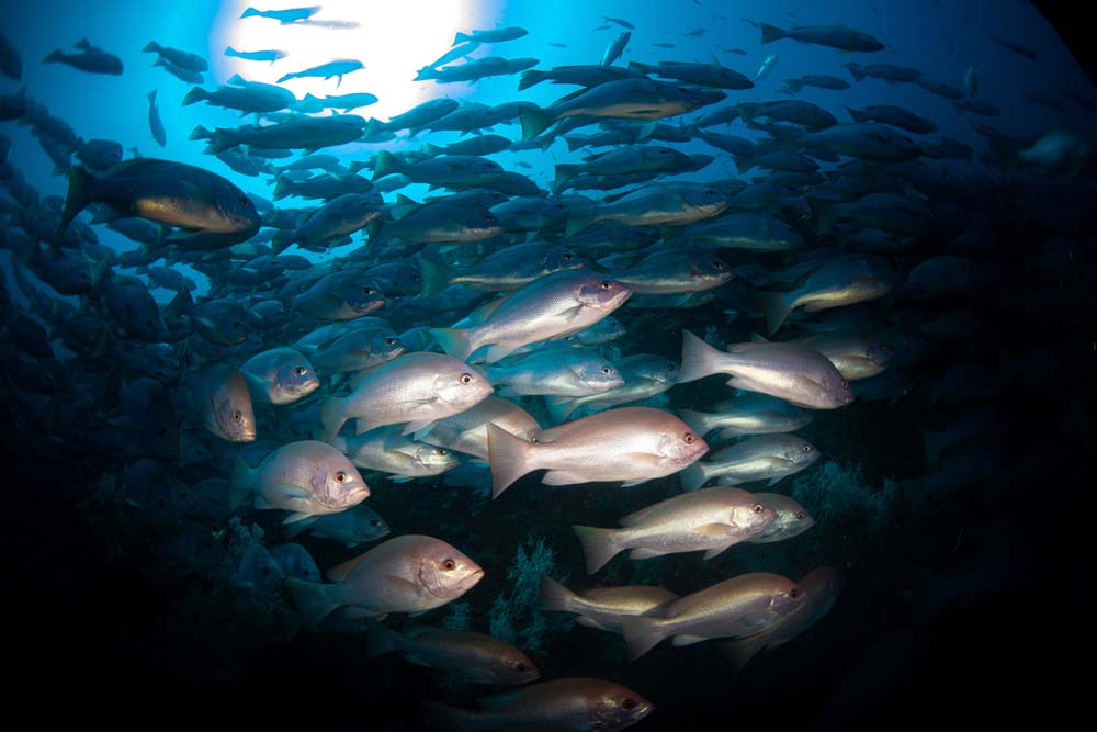 large school of fish captured using a fish-eyed lens whilst approaching the yongala wreck