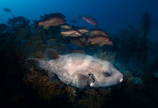 picture of large scribbled pufferfish taken at the ss yongala wreck
