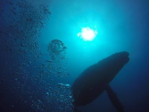 Humpback Whales Yongala Wreck Townsville