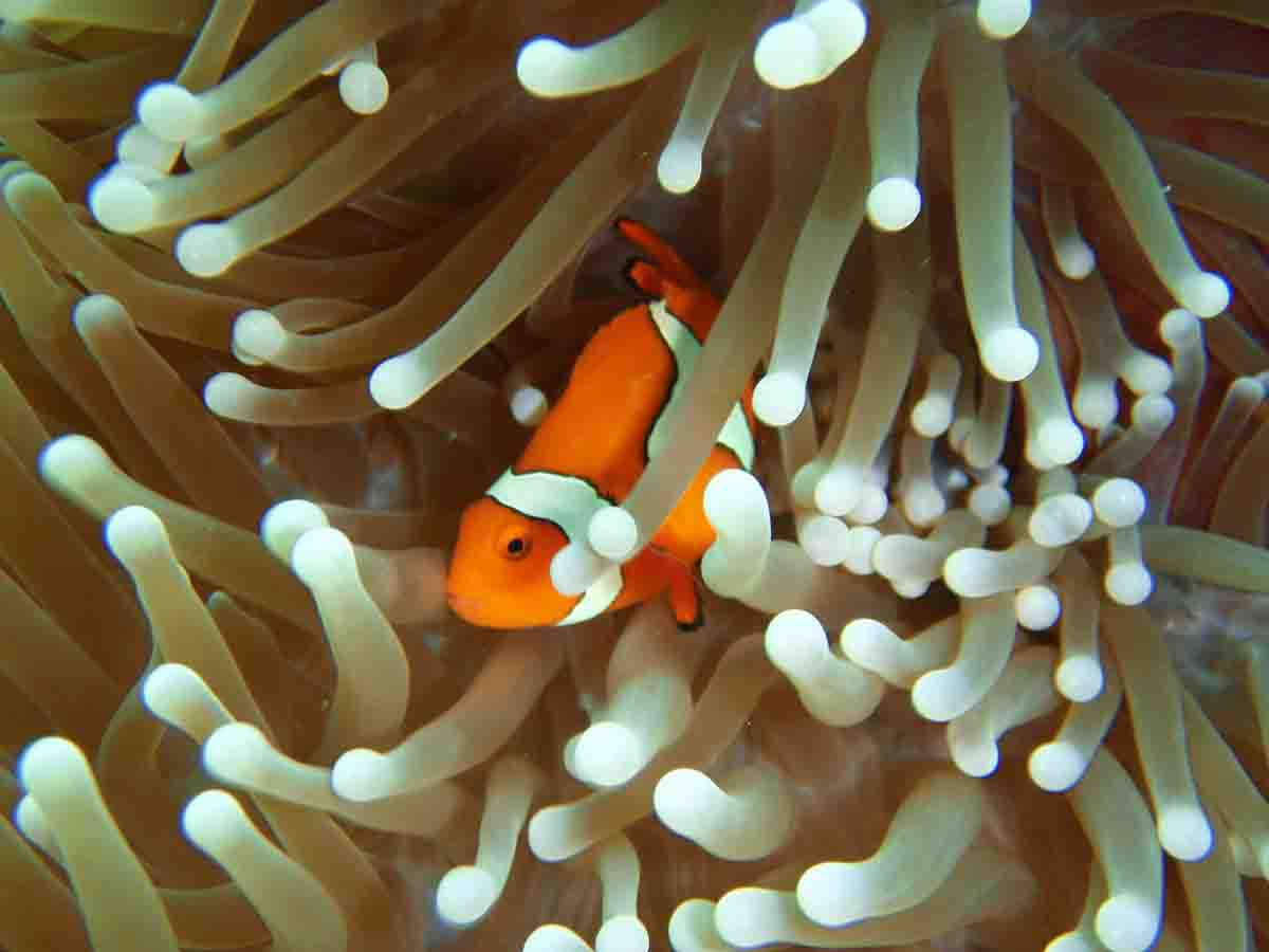 clownfish hiding in anemone coral