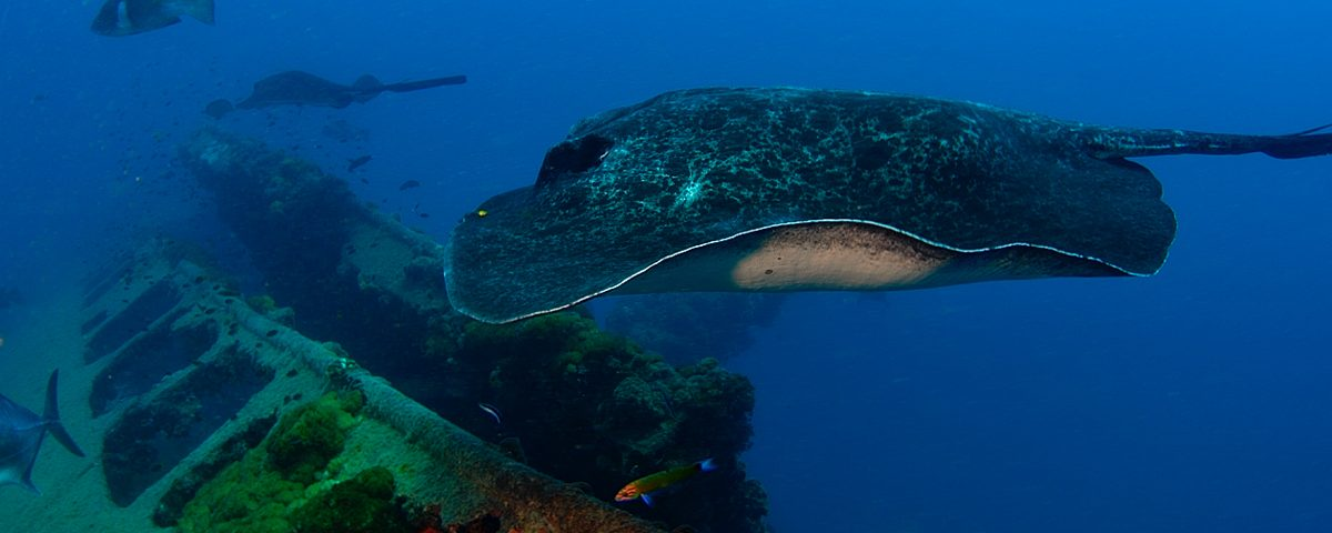 bull ray swimming in the ocean with the coral-crusted yongala wreck in the background