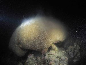 white coral releases its egg-sperm bundles so it looks like a cloud of smoke floating above it.