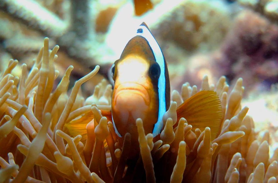 Clownfish Peeking From Anemone