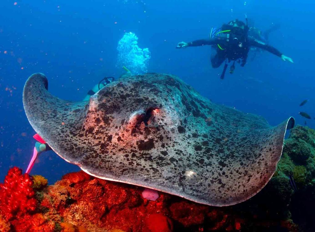 Picture of Marble Ray in the foreground and scuba diver in the background with outstretched hands
