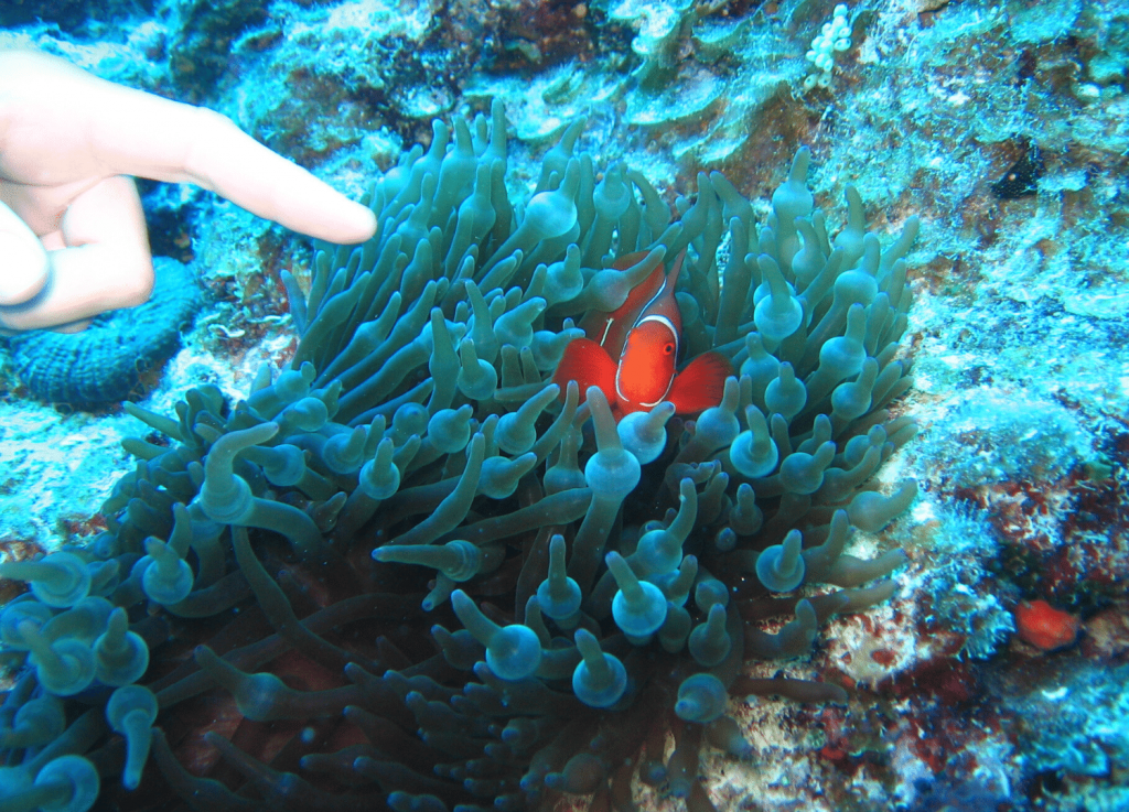Things to do in Townsville these school holidays Pointing at a clownfish in anemone