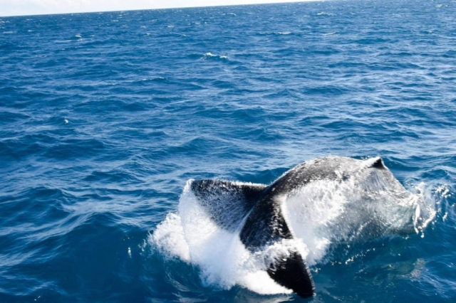 Whale Watching in Townsville - tail slapping