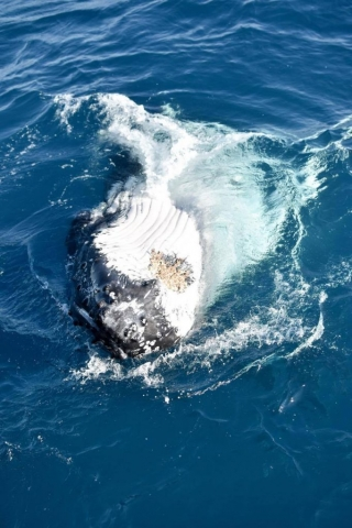 Whale enjoying putting on a show in Townsville