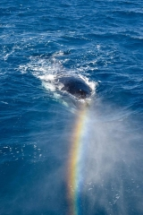 Whale watching rainbow townsville